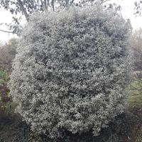 Pittosporum tenuifolium 'Variegatum' 30/50 C4L