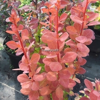 Berberis thunbergii 'Orange Rocket' ® 40/50 C4L