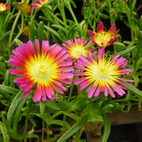 Delosperma 'Hot Pink Wonder' C3L