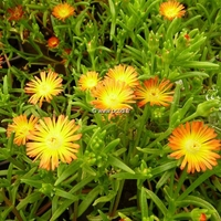Delosperma 'Orange Wonder' C3L