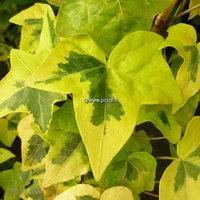 Hedera helix 'Yellow Ripple' 40/60 C3L