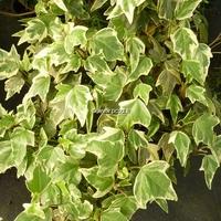 Hedera helix 'Sagittifolia Variegata' 40/60 C4L