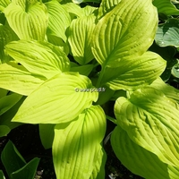 Hosta fortunei 'Gold Haze' C3L