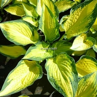 Hosta 'Orange Marmelade' C3L