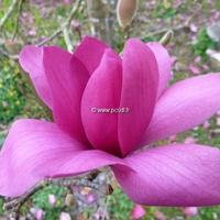 Magnolia 'Vulcan' 80/100 C4L