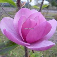 Magnolia 'Sweet Valentine' 200/250 C45L