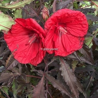Hibiscus x moscheutos 'Red Wine' ® C3L
