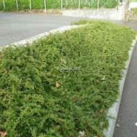 Cotoneaster dammeri 'Frieders Evergreen' 30/40 C4L