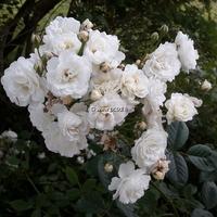 Rosa 'Little White Pet' 30/40 C4L
