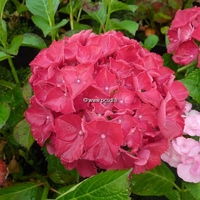 Hydrangea macrophylla 'Ruby Red' ® 20/40 C4L