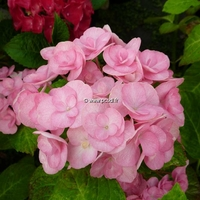Hydrangea macrophylla 'Papillon' ® 20/40 C4L