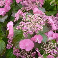 Hydrangea serrata 'Cotton Candy' ® 20/40 C5L