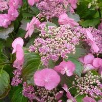Hydrangea serrata 'Cotton Candy' ® 20/40 C4L