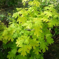 Hydrangea quercifolia 'Little Honey' ® 20/30 C3L