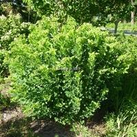 Lespedeza thunbergii 'Albiflora' C4L