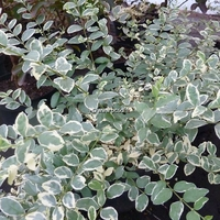 Ligustrum ibota 'Musly' ® 40/60 C3L
