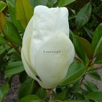 Magnolia grandiflora 'Nannetensis' 175/200 C15L