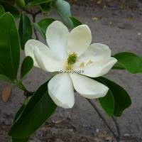 Magnolia virginiana 60/125 C4/5L