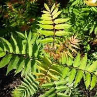Sorbaria sorbifolia 'Sem' ® 40/50 C4L