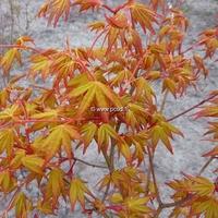 Acer palmatum 'Ueno-yama' 40/50 C4L