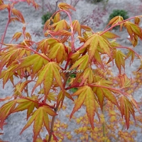 Acer palmatum 'Ueno-yama'
