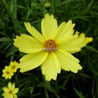 Coreopsis 'Full Moon' ® C3L