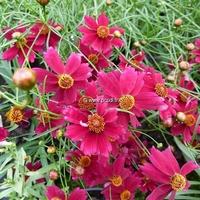 Coreopsis 'Limerock Ruby' ® C3L