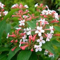 Abelia mosanensis 30/40 C3L
