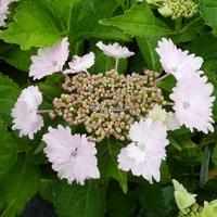Hydrangea macrophylla 'Koria' ® 20/40 C4L