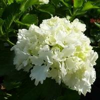 Hydrangea macrophylla 'Neuf' 20/40 C4L