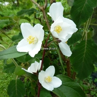 Philadelphus 'Starbright' ® 40/60 C4L