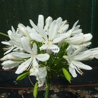 Agapanthus 'Artic Star' C3L