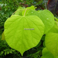 Cercis canadensis 'Hearts of Gold' ® 100/125 C4L