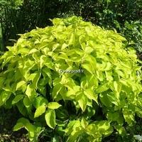 Cornus sericea 'Kelsey's Gold' 30/40 C4L