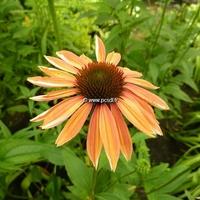 Echinacea 'Summer Sky' C3L