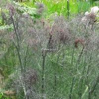 Foeniculum vulgare 'Purpureum' C3L