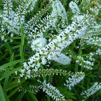 Hebe salicifolia 30/40 C4L