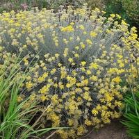 Helichrysum italicum ssp. serotinum 30/40 C3L