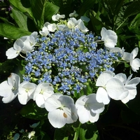 Hydrangea macrophylla 'Blanc Bleu' ® 20/40 C4L