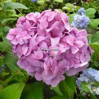 Hydrangea macrophylla 'Bloomstar' ® 20/40 C3L