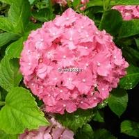 Hydrangea macrophylla 'Parzifal' 20/40 C4L