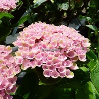 Hydrangea macrophylla 'Revolution' ® 20/40 C4L