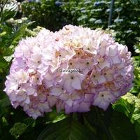 Hydrangea macrophylla 'Salsa' ® 20/40 C4L