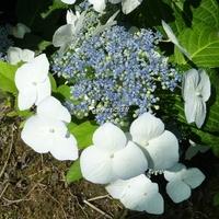 Hydrangea macrophylla 'Veitchii' 20/40 C4L
