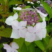 Hydrangea serrata 'Grayswood' 20/40 C4L