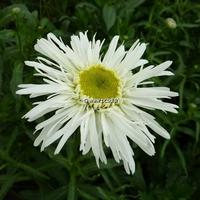 Leucanthemum x superbum 'Wirral Pride' C3L