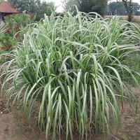 Miscanthus sinensis 'Variegatus' C3L