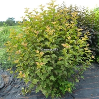 Physocarpus opulifolius 'Amber Jubilée' ® 40/50 C4L