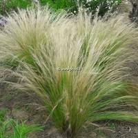 Stipa tenuifolia C3L