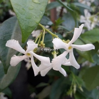 Trachelospermum jasminoides 'Wilsonii' 40/50 C4L
